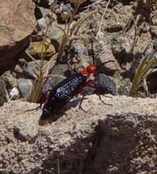 leatherhead beetle